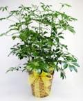Green Schefflera