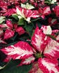 Variegated Colors